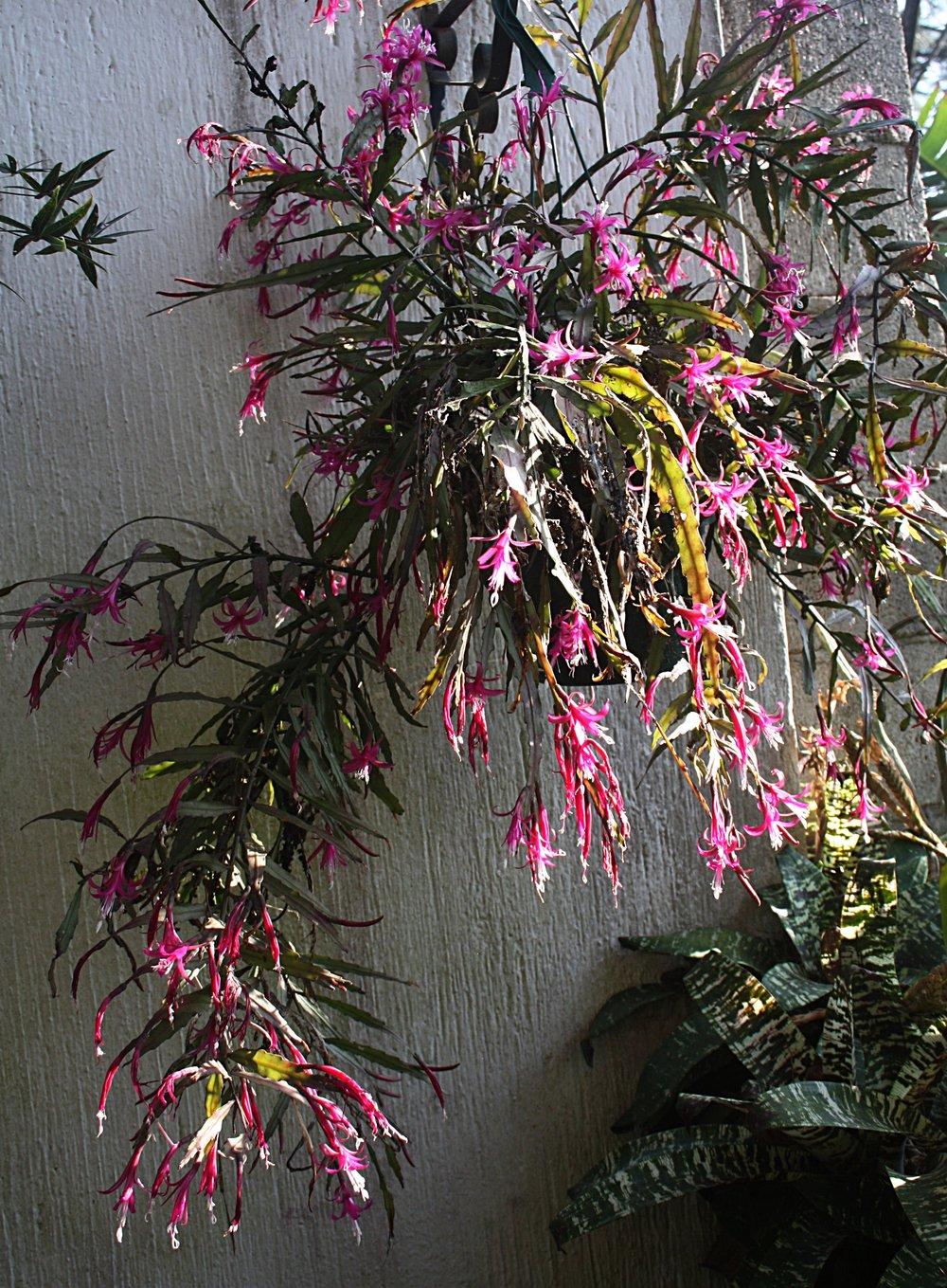 Well-flowered specimen of  Disocactus biformis  in my garden in Guatemala.