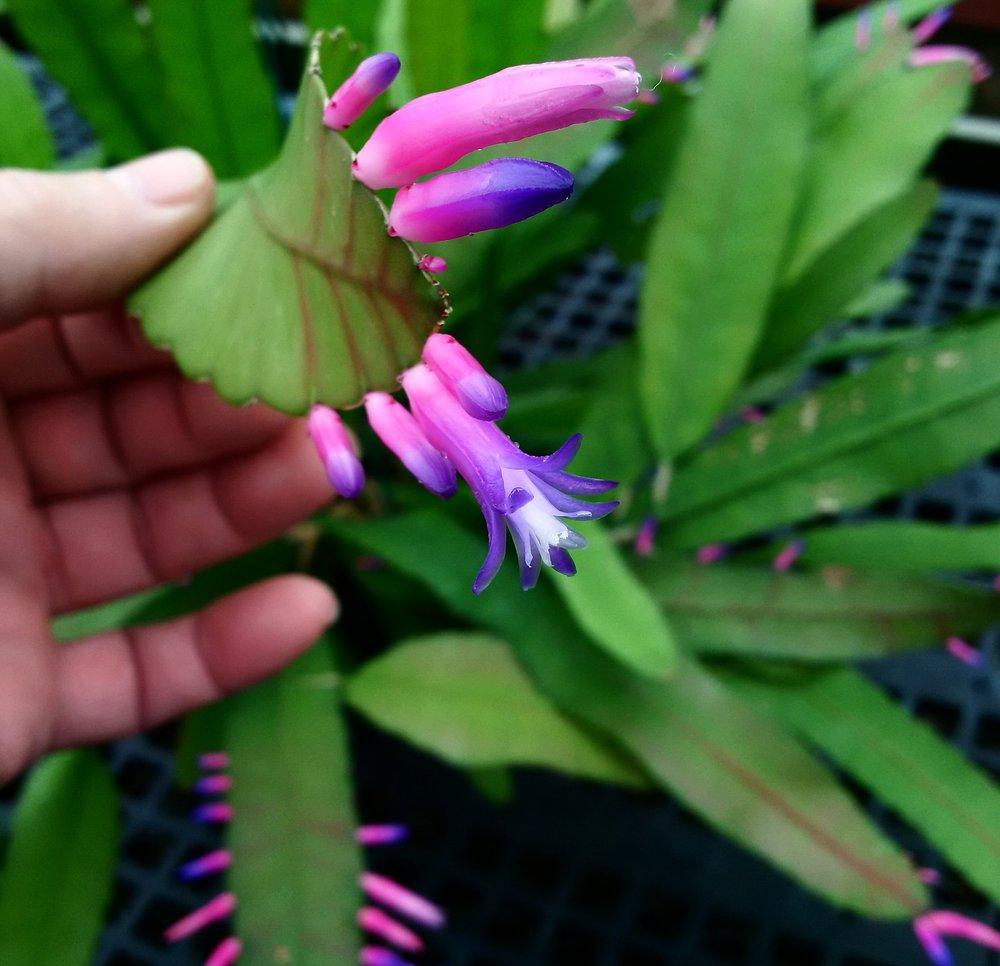Corolla detail,  Pseudorhipsalis amazonica  flowering in California.