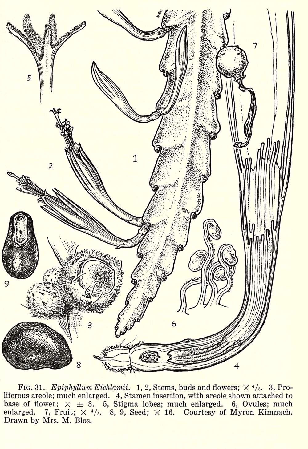 """Disocactus eichlamii  illustration in the """"Flora of Guatemala"""", Part VII, 1962 (Chicago Natural History Museum)."""