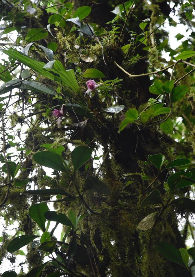 Lycaste virginalis  flowering in canopy in nature, undisclosed location, Guatemala (Image: F. Muller).