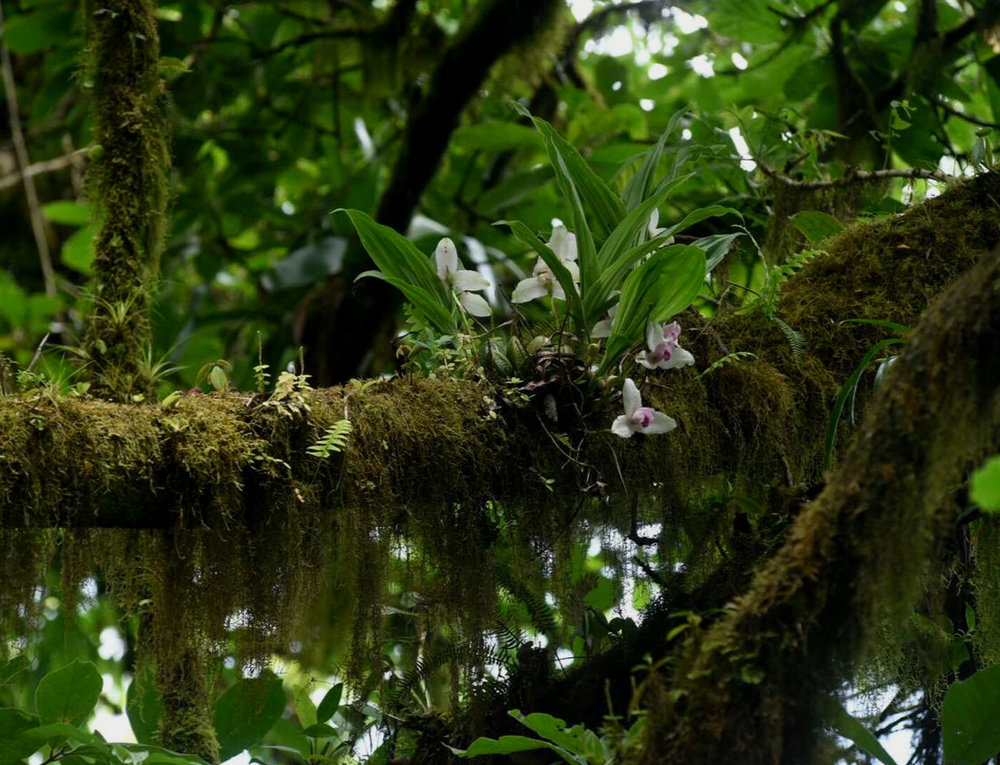 Lycaste guatemalensis  flowering in cloud forest, Volcán Ipala, Guatemala (Image: F. Muller).