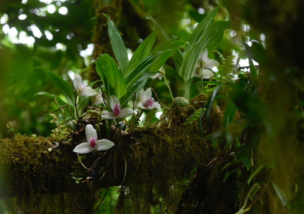 Lycaste guatemalansis  colony in flower, late spring, Volcán Ipala, Guatemala (Image: F. Muller).
