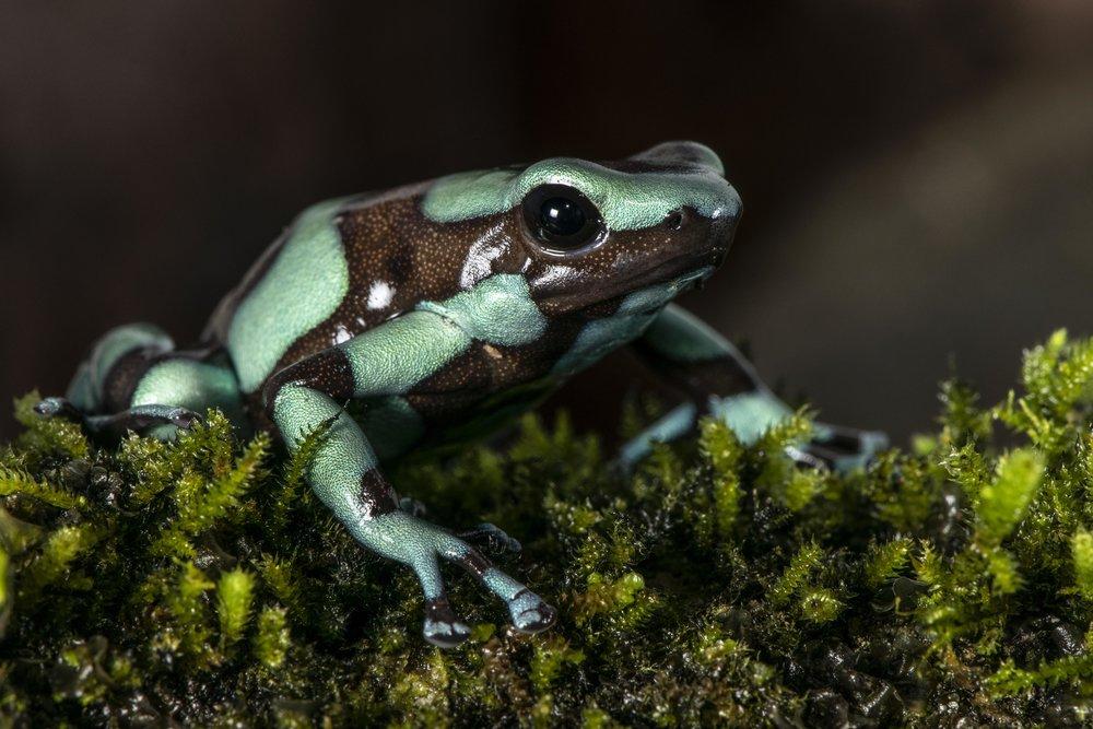Dendrobates auratus  (Image: P. Rockstroh).