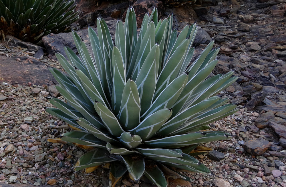 A beautiful, fully mature  Agave nickelsiae  at the Desert Botanical Garden, Phoenix, Arizona.