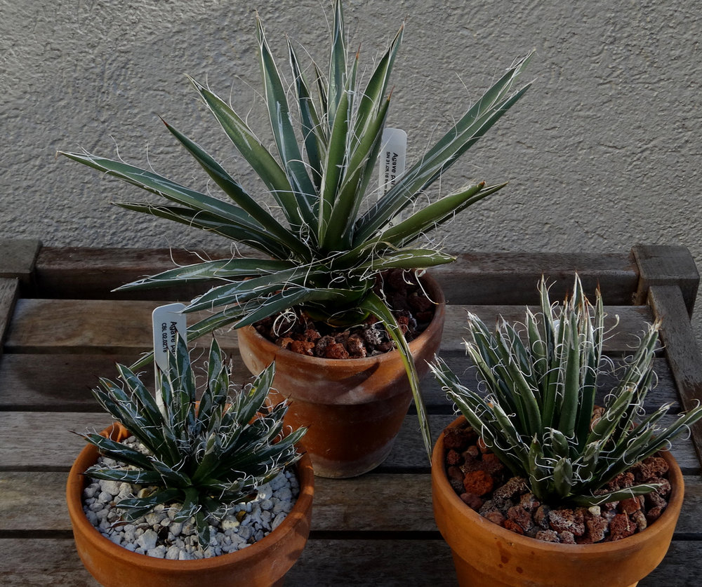 Half-grown examples of the three accepted subspecies of  Agave parviflora . Clockwise from top center,  A. p. ssp. densiflora ,  A. p. ssp. flexiflora  and  A. p. parviflora . Note that it is often difficult or impossible to separate the latter two forms by leaf morphology alone. Author's collection.