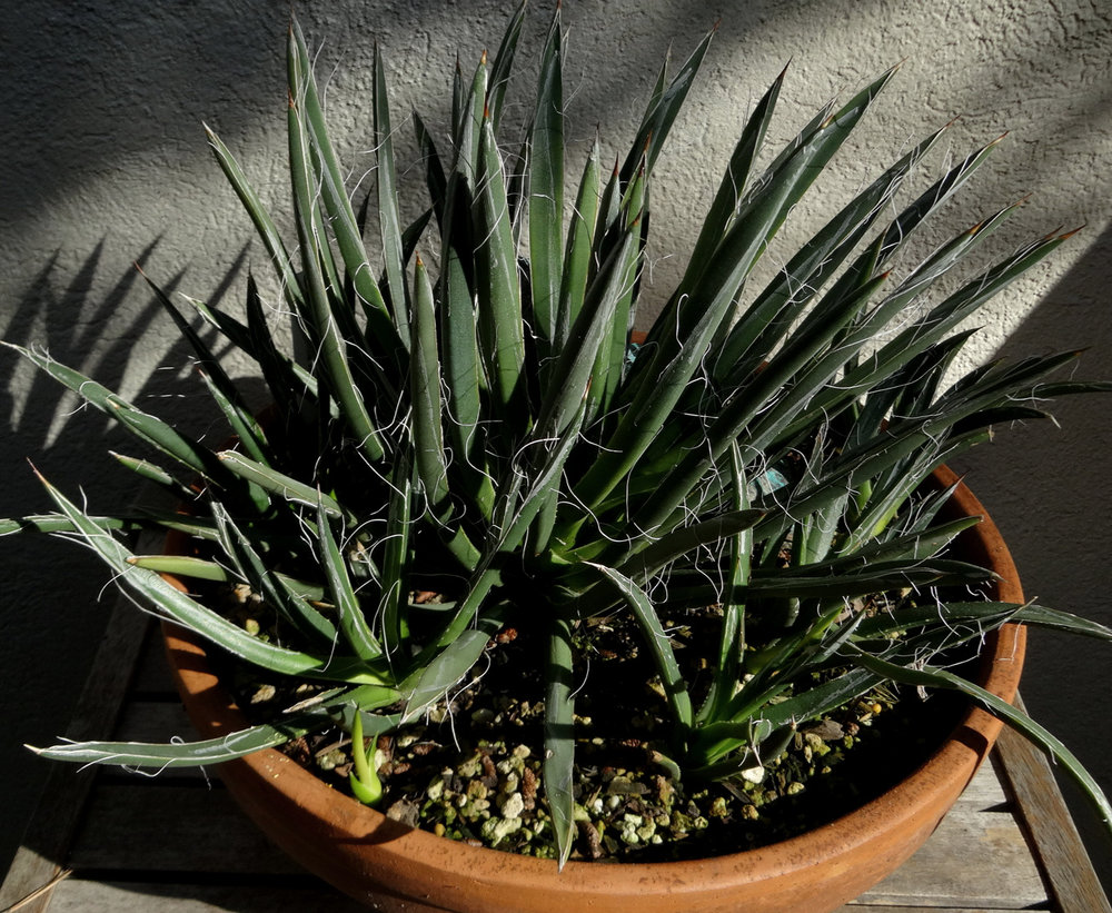 Colony of potted but fully-exposed  Agave toumeyana ssp. bella  soldiering on through a wet coastal Californian winter. Author's collection.