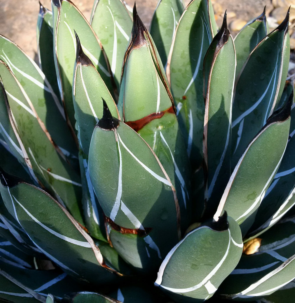Agave mite I - growing out of damage.jpg