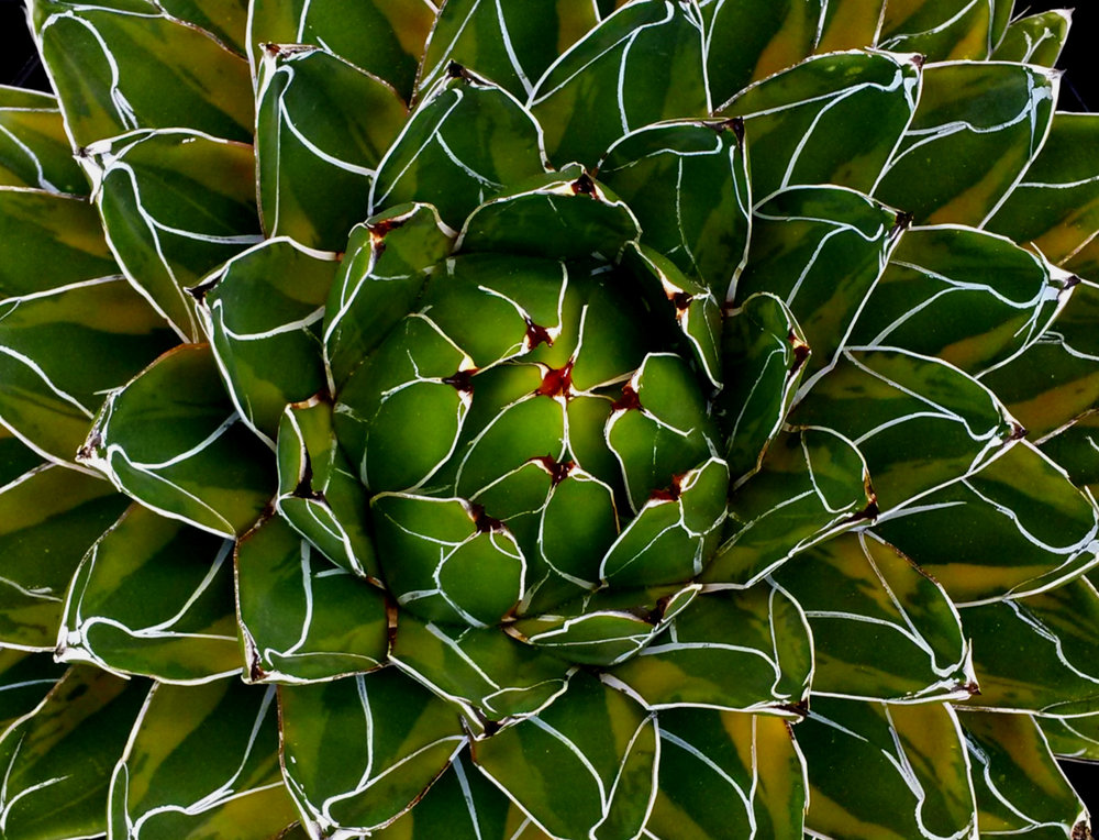 Look-down on rosette center, mature  Agave victoriae-reginae  ' Kazo Bana '. Author's collection.