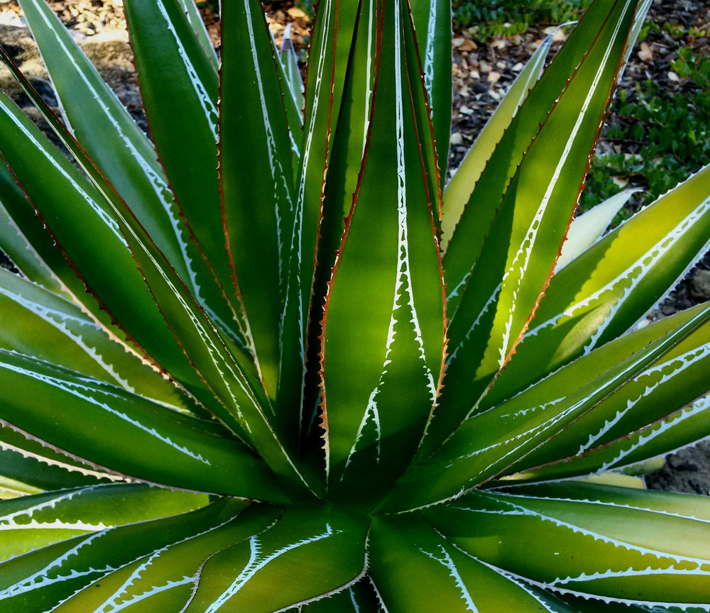 The stunning backlit bud imprints and marginal spines on the leaves of a large mature  Agave impressa,  looking a bit like crocodile teeth. Private garden on the Peninsula, San Francisco Bay Area.