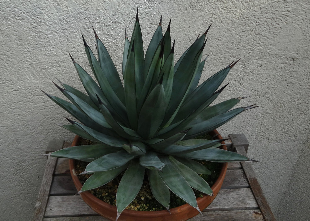 Agave  'Blue Emperor', young adult in winter color. In my opinion this hybrid, when well-grown, is one of most visually pleasing of all the small blue magueys. Author's collection.