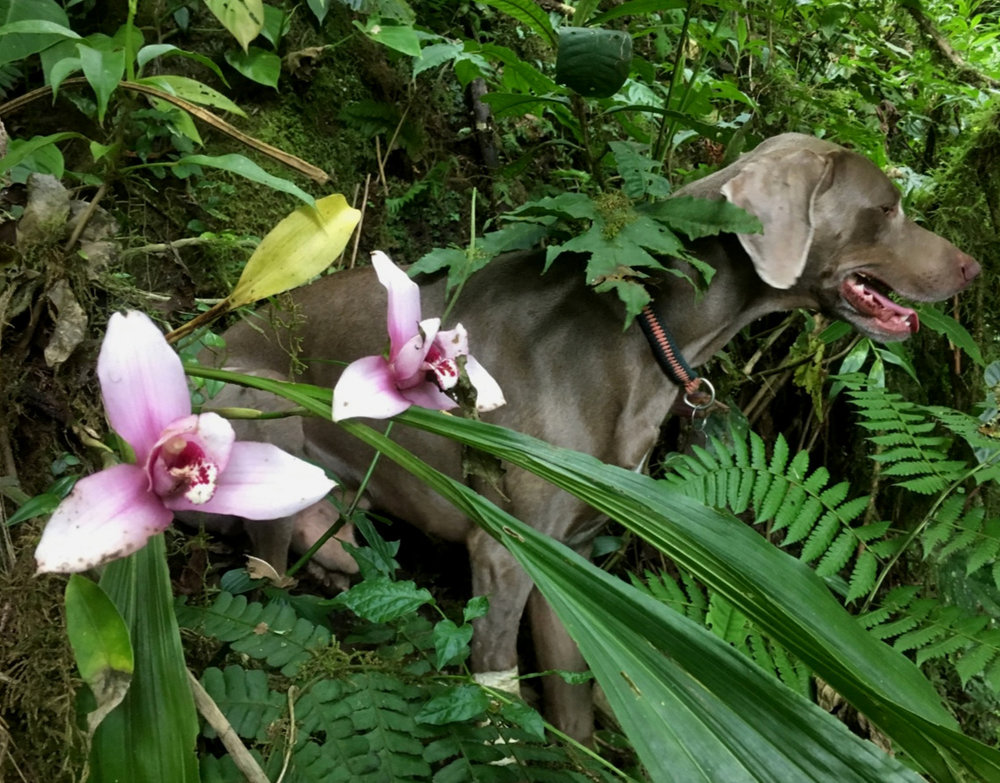 Fred Muller's weimaraner Jules standing guard over a flowering  Lycaste virginalis f. virginalis  growing as a terrestrial in cloud forest at an undisclosed location in central Guatemala. Image F. Muller.