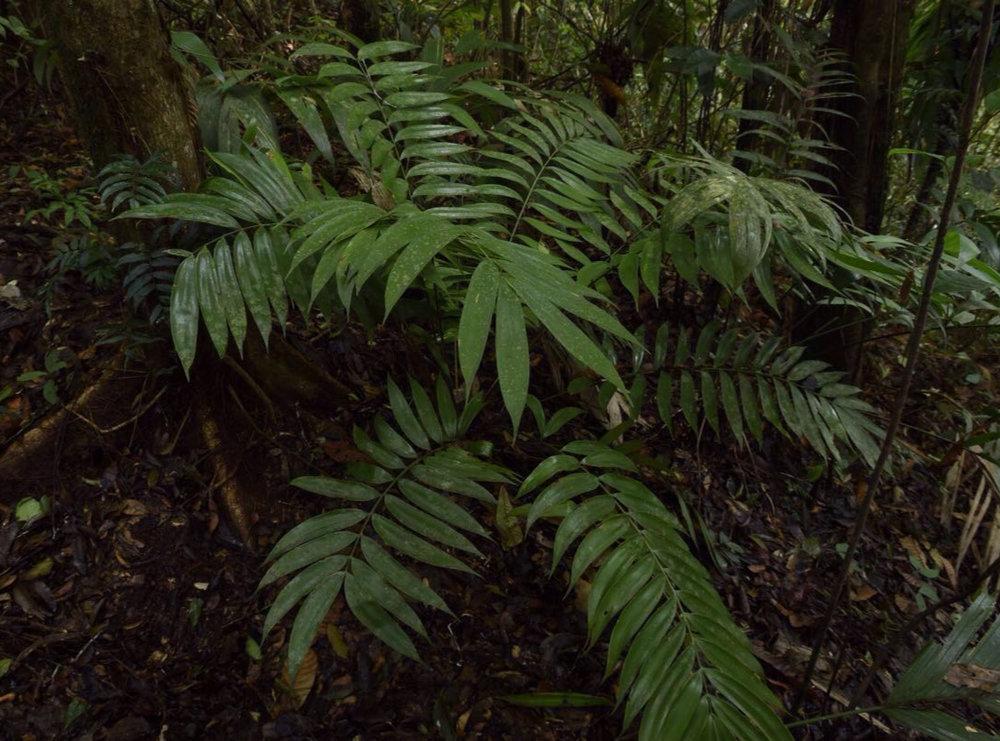 Mature  Zamia cf. monticola  in central Guatemala. Image: F. Muller.