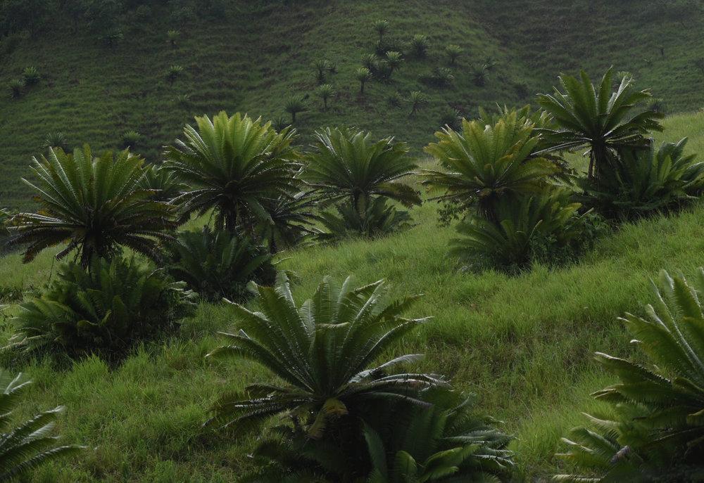 Large numbers of  Dioon mejiae  persisting as relics in pasture, northern Honduras. Image: F. Muller.