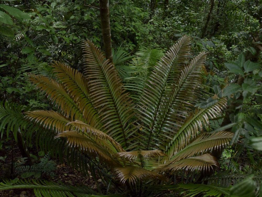 New leaf flush on  Ceratozamia robusta  in central Guatemala. Image: F. Muller.