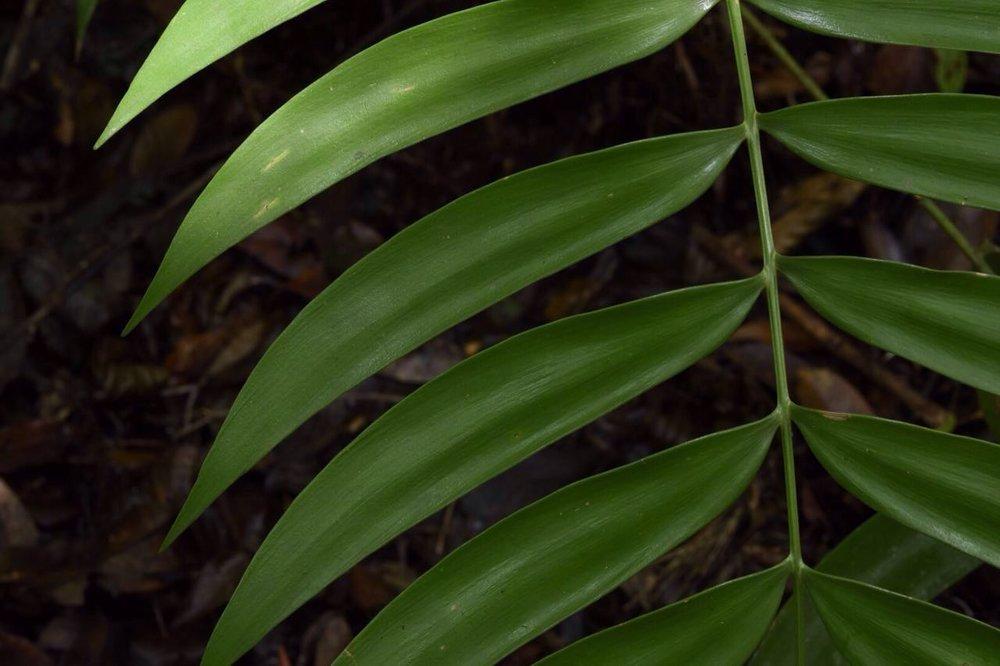 Zamia monticola leaf detail.jpg