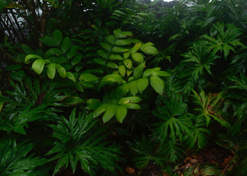 A large adult  Zamia nesophila  surrounded by mature  Philodendron radiatum  on a rainy, windswept day at the type locality. Notice the ocean immediately to the left behind the plant. Image: F. Muller.