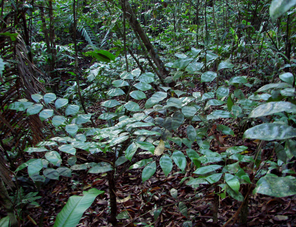 A group of trunking  Zamia obliqua  in the central Panamanian lowlands. Image: C. Hall and A. Dearden.