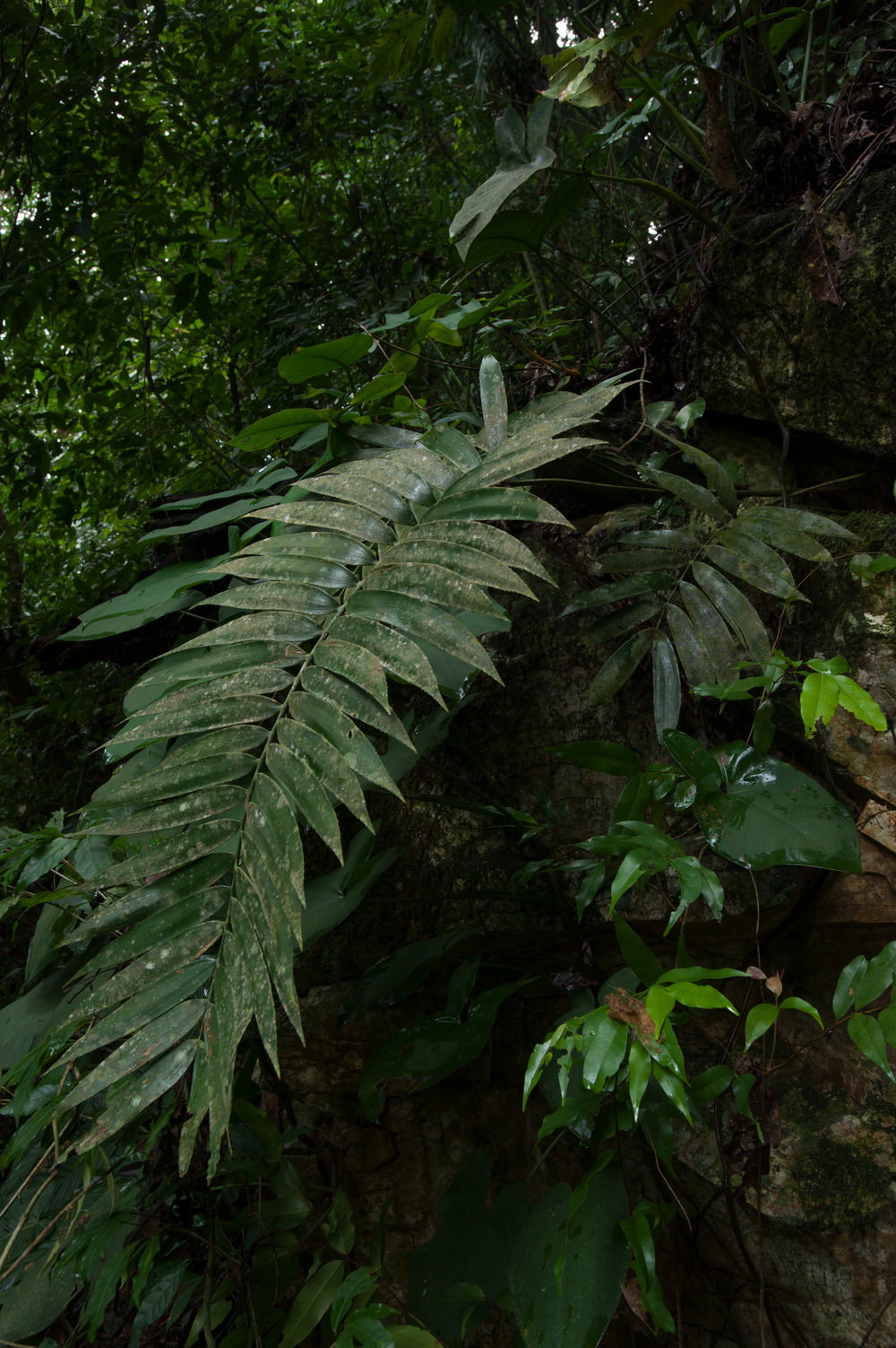 Zamia sandovalii  in nature in northern Honduras, showing its epipetric habit and sparse canopy. Image: F. Muller.