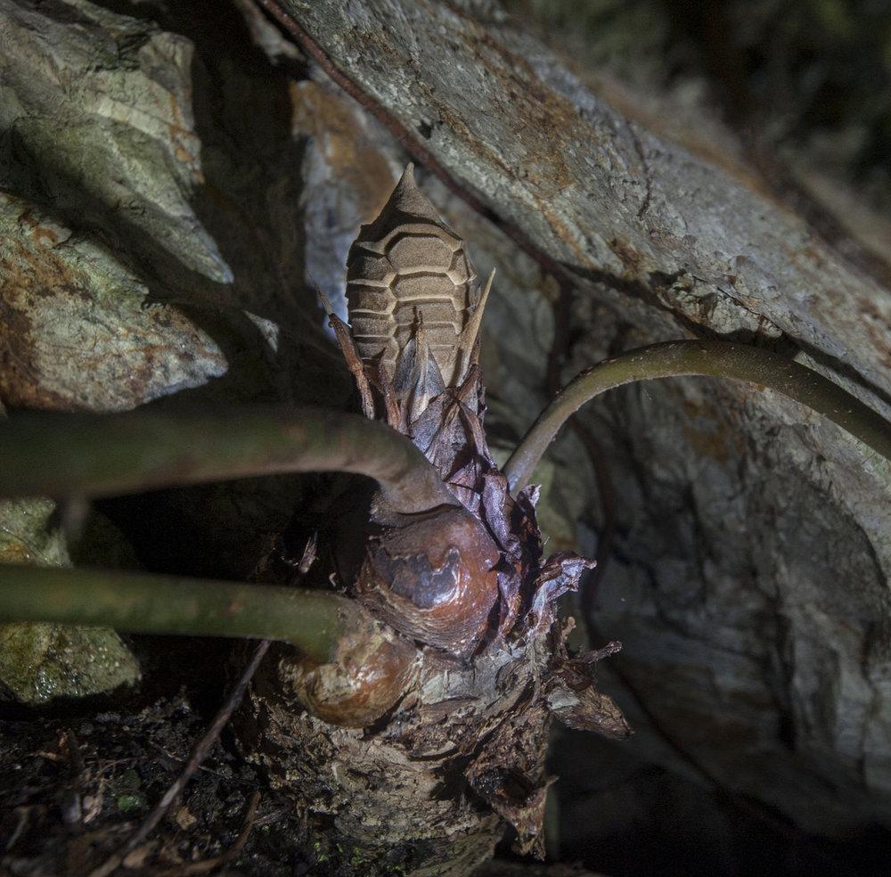 Newly-emerged female cone on a wild  Zamia sandovalii . Image: F. Muller.