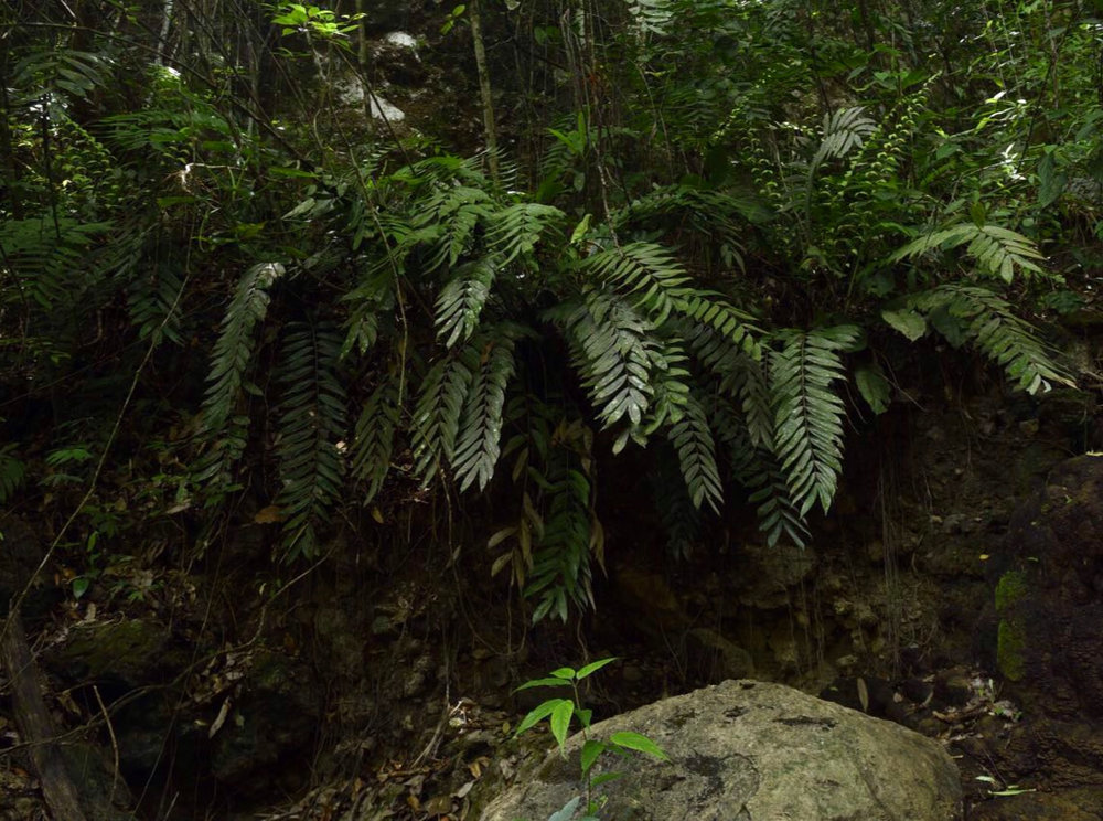 A group of  Zamia tuerckheimii  growing streamside in the southern population. Image: F. Muller.