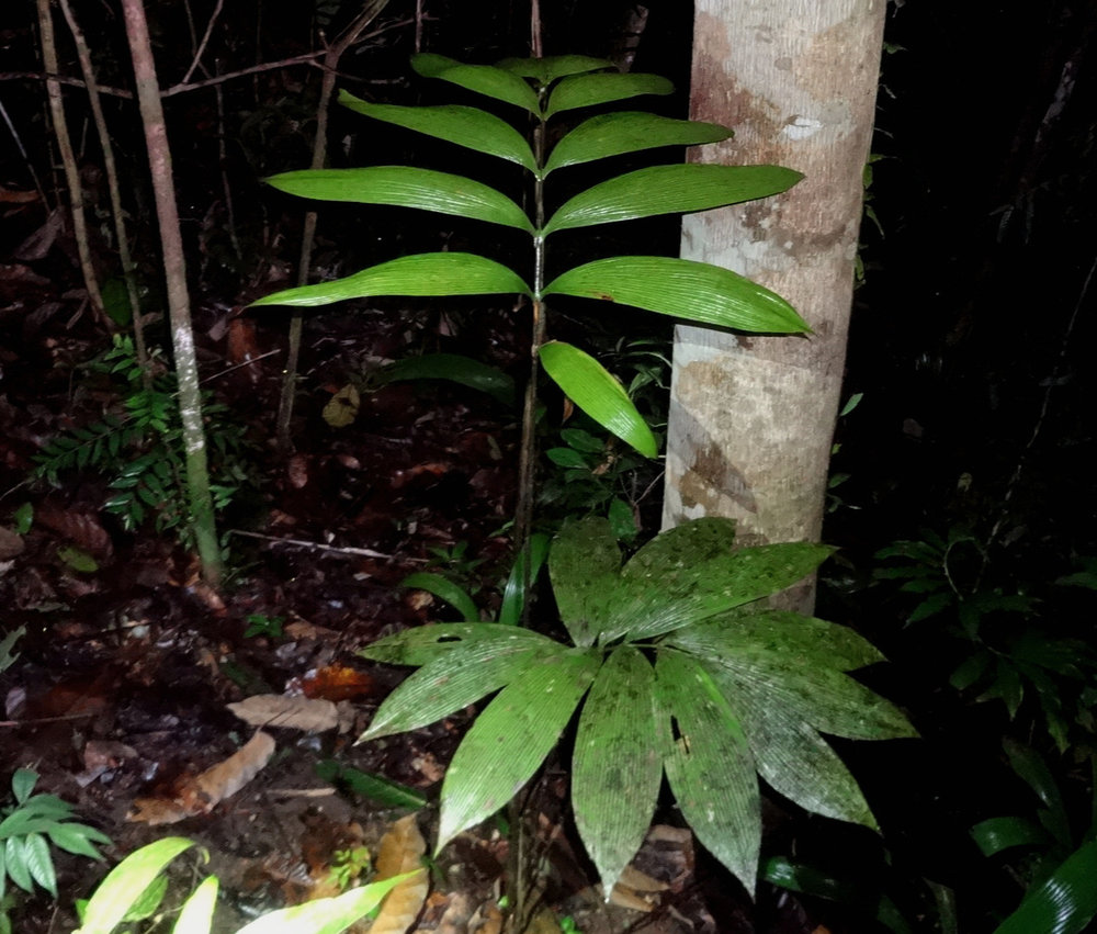 A very large adult  Zamia dressleri  encountered while spotlighting, central Panamanian lowlands.