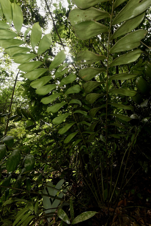 Ceratozamia hondurensis canopy.jpg