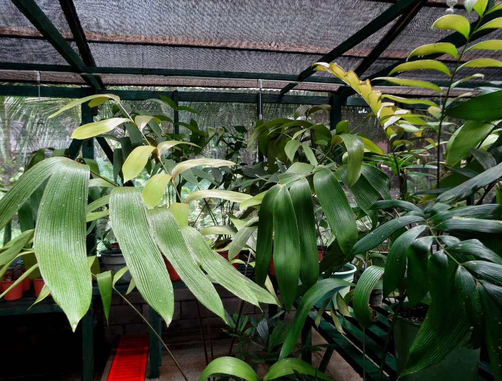 A variety of the author's and friends' potted Panamanian, Colombian and Ecuadoran plicate-leaf zamias, greenhoused in a private collection in Guatemala.