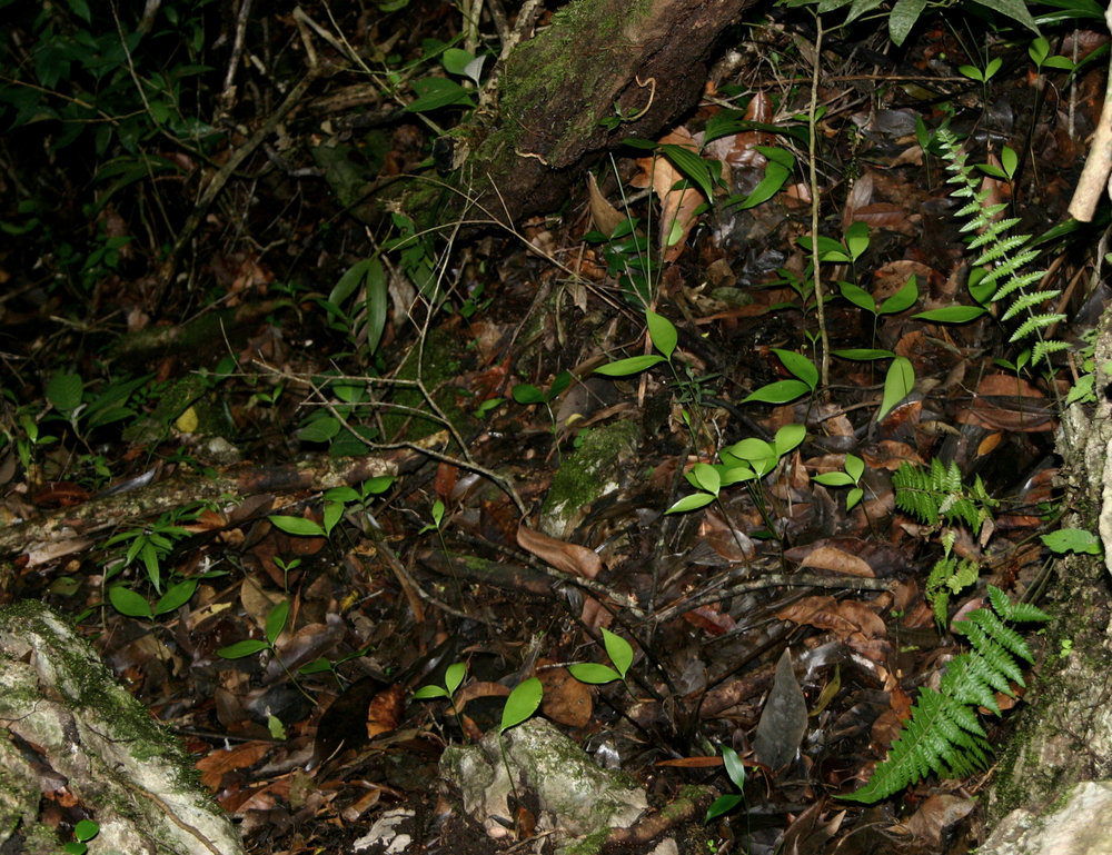 Several dozen seedling  Zamia tuerckheimi i scattered by a disintegrated seeding cone. Note the thin layer of leaf litter over the eroded and exposed karst visible here,