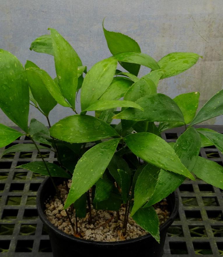 Zamia variegata compot.JPG