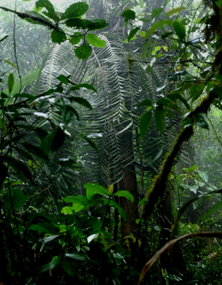 A very large mature  Zamia pseudoparasitica  growing in low elevation cloud forest in western Panamá. Image: F. Muller.