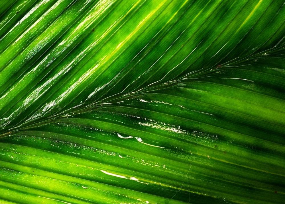 Leaf detail, cultivated F1  Geonoma epetiolata , California.