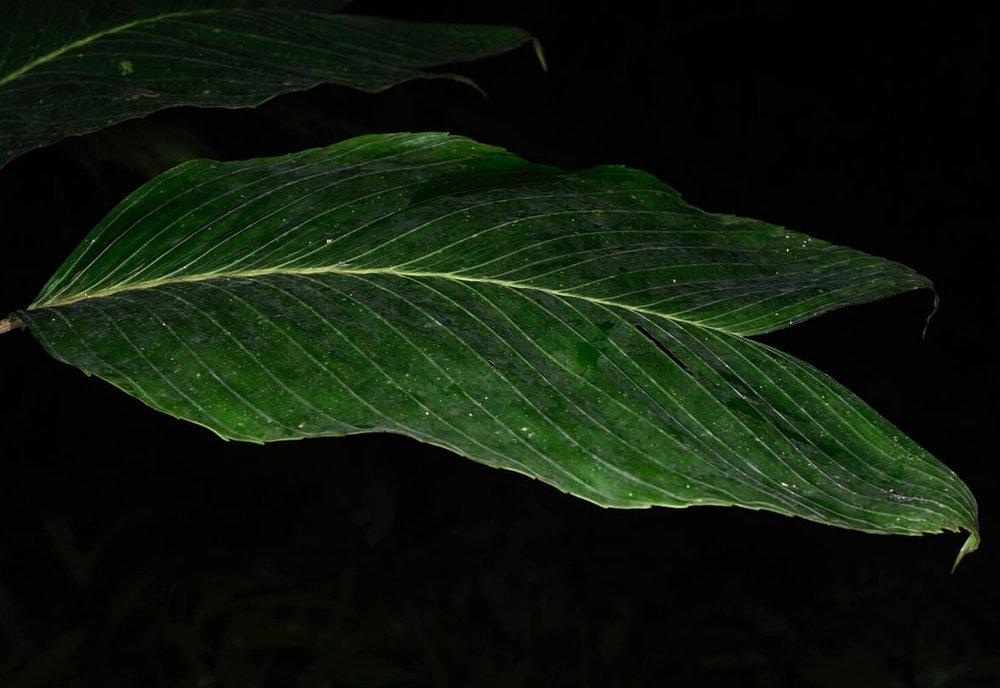 Leaf detail,  Chamaedorea deneversiana , Veraguas Province, Panamá (Image: F. Muller).