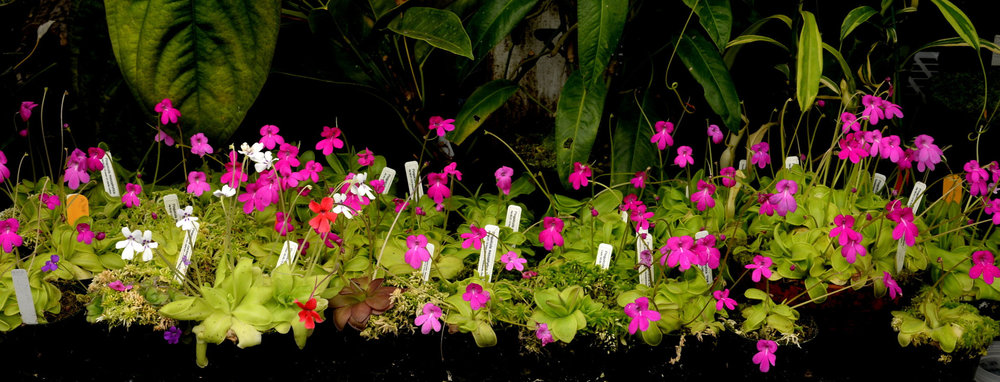 One of my cloud forest greenhouse bench sections showing a tapestry of seed-grown, flowering  Pinguicula mesophytica  in both plastic pots and terra cotta bowls, together with a few red-flowered  P. laueana, P. cyclosecta  and  P. moranensis f. semialba . Image: R. Parsons.