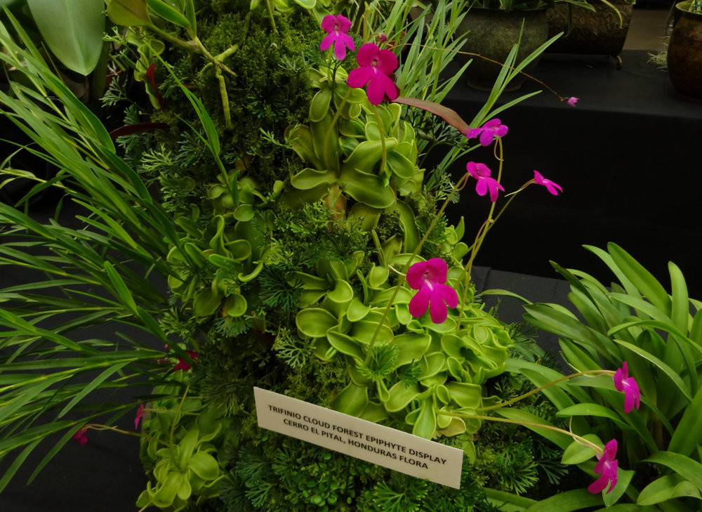 """A tabletop display of mine staged in a large bonsai pot showcasing  Pinguicula mesophytica  and exhibited at the 2018 San Francisco Orchid Society's summer show, """"Orchids in the Park"""". Among carnivorous plants, this species is unmatched as a subject for wet-wall/vertical gardens."""