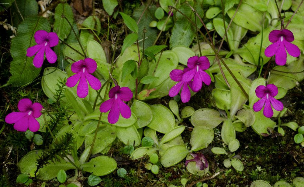 A colony of Salvadoran  Pinguicula mesophytica  growing at the base of a tree in high elevation mossy forest. Image: F. Muller.