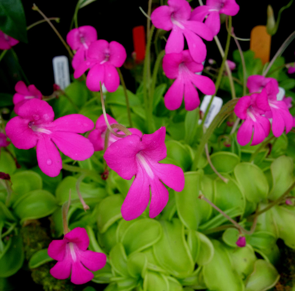 """A nicely-flowered 6""""/15 cm terra cotta bowl planted with typical-colored  Pinguicula mesophytica."""