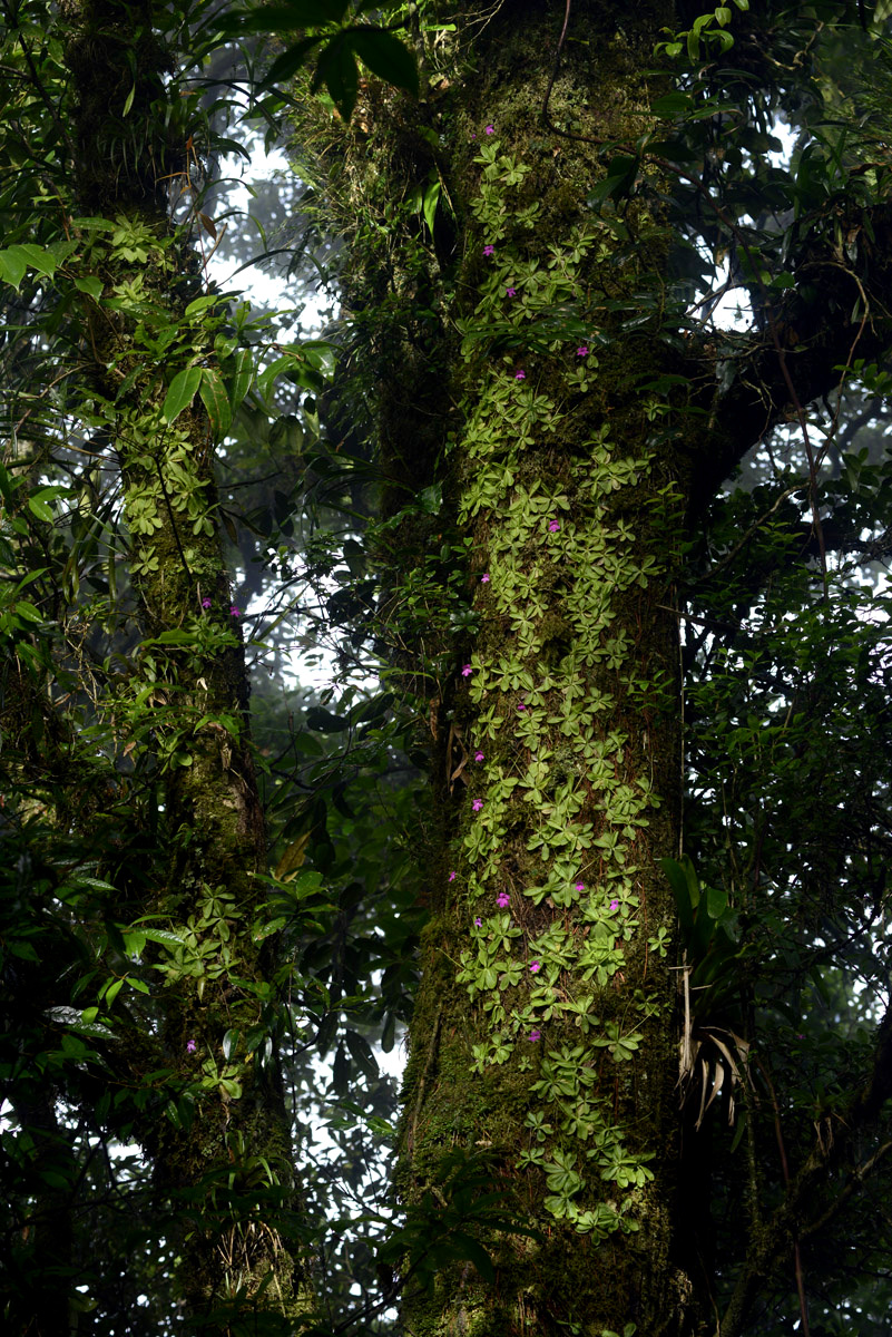 Hundreds of  Pinguicula mesophytica  growing in the upper canopy, adpressed to cloud forest emergent trees at high elevation. Image: F. Muller.