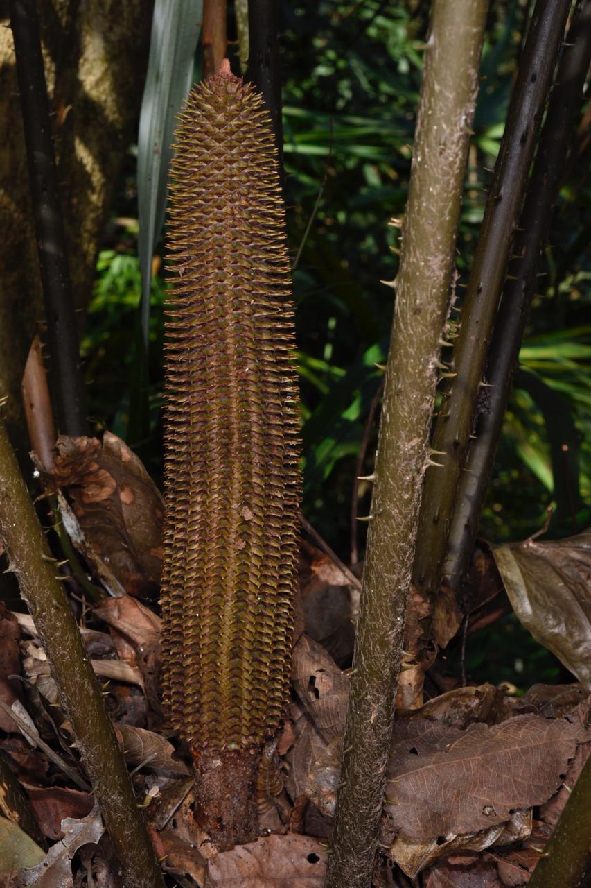 - Wild male cone of Ceratozamia robusta, TWF in central Guatemala. Image: F. Muller.