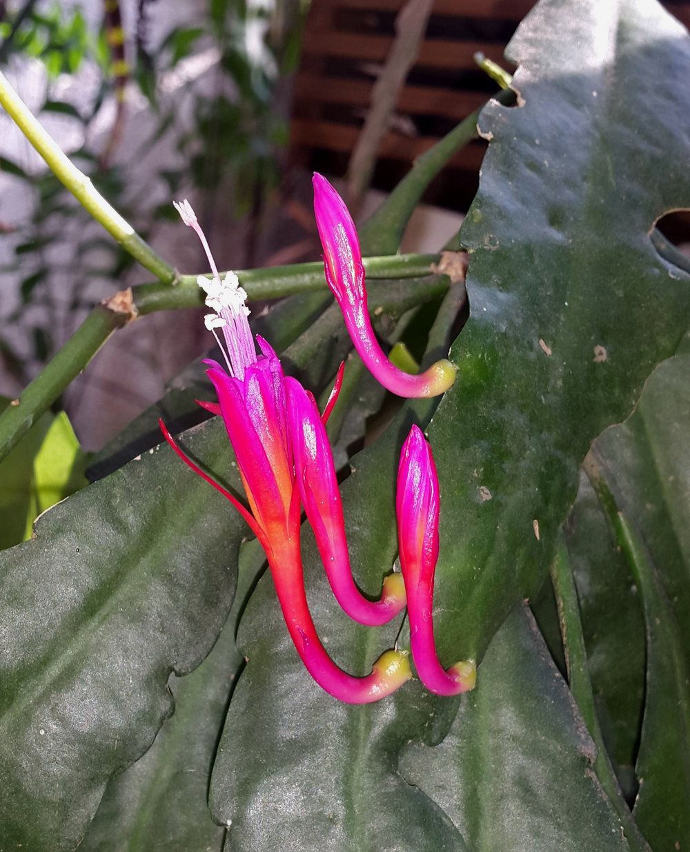 Fully expanded corollas on a cultivated  Disocactus eichlamii  showing more magenta overtones. Grower and image: J.J. Castillo.