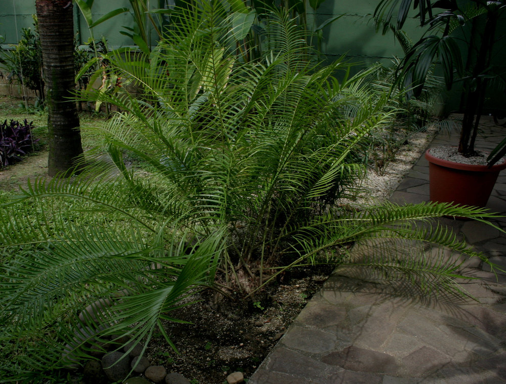 A border planting of mature  Zamia herrerae  in a private collection in Guatemala. This species is native to this particular area, where it hosts populations of zamia butterflies ( Eumaeus sp .).