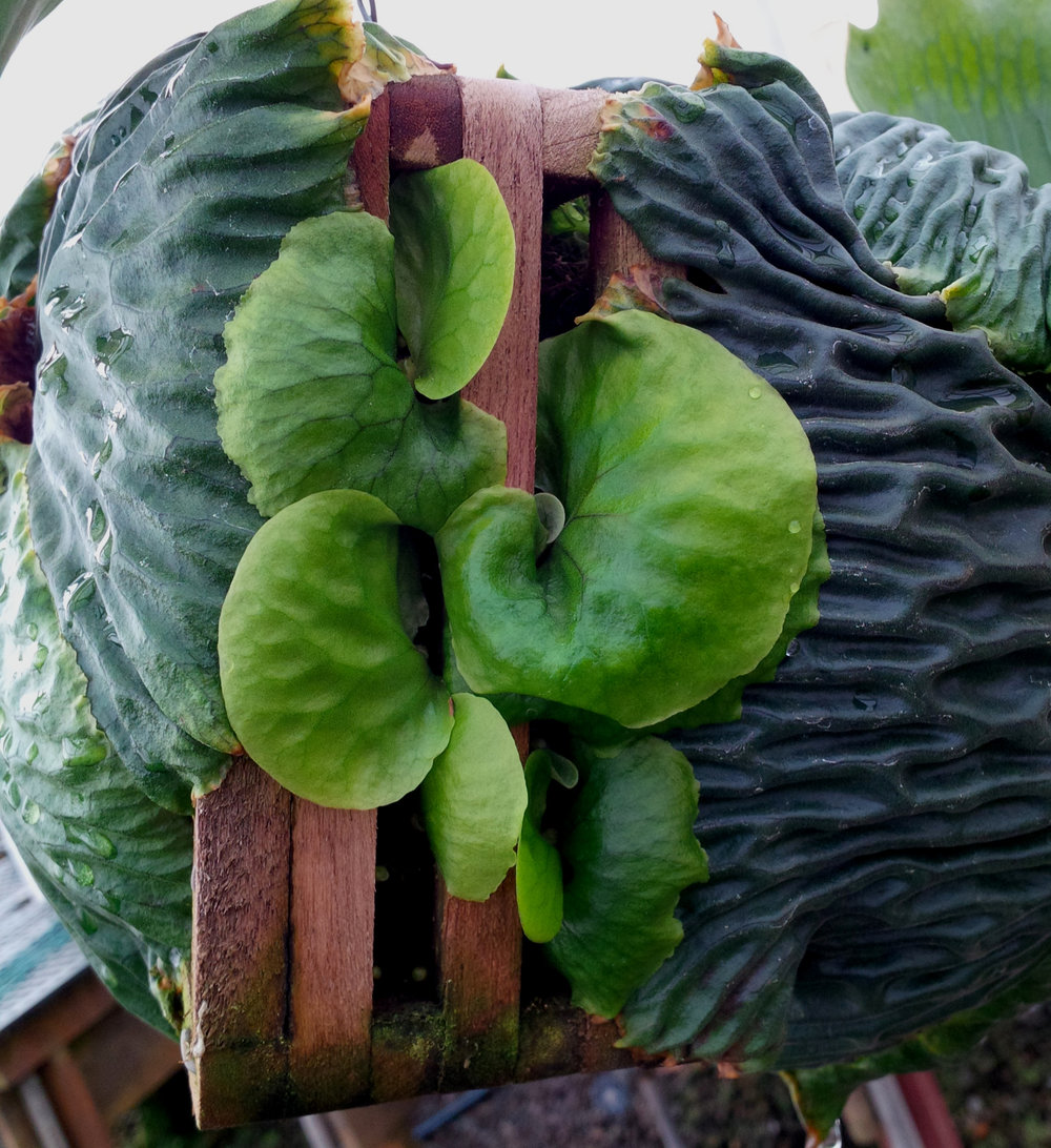 A pair of wooden basket-mounted  Platycerium madagascariense  offsetting vigorously 18 months after transplant.