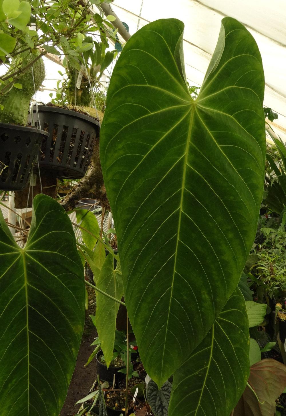 Anthurium marmoratum Cirino ex Colombia.JPG