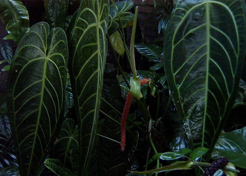 Fruiting Anthurium warocqueannum May 2002.jpg