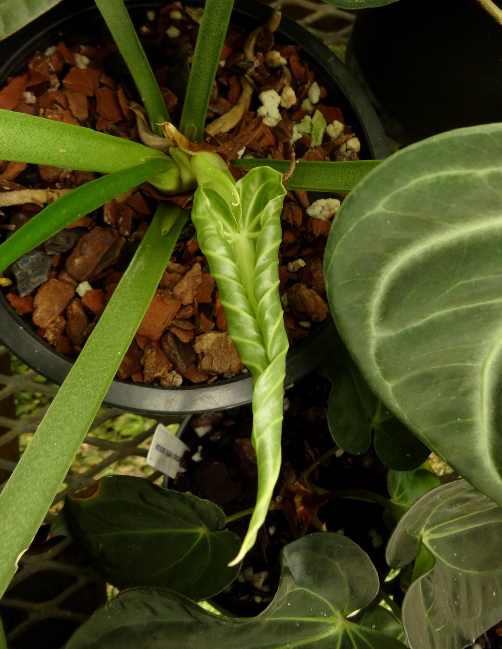 Anthurium villenaorum  (sp. ined.) unfolding a new leaf in California. Note involute vernation on this leaf.