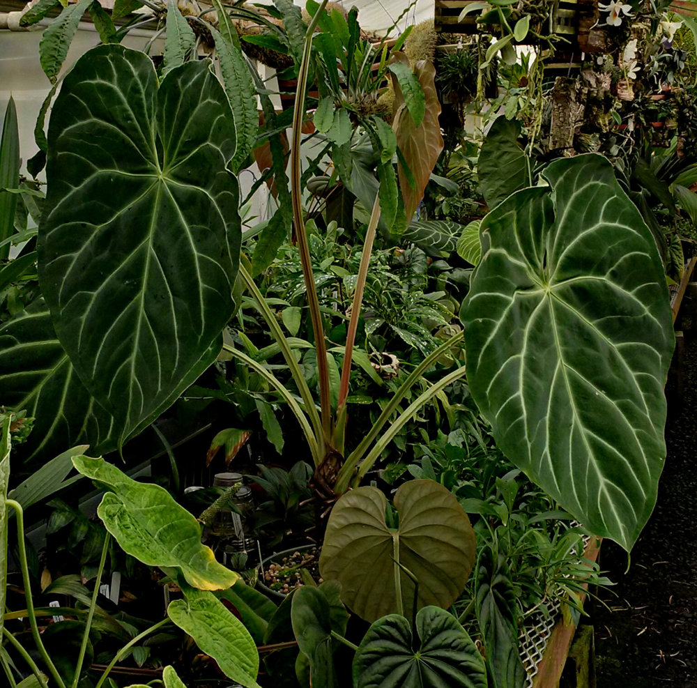 """A mature  Anthurium magnificum  """"Norte"""" growing the author's collection in California. Note the very prominent wings on the petioles and peduncle of this plant."""