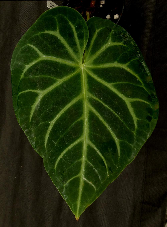 Anthurium magnificum Mundiflora.JPG