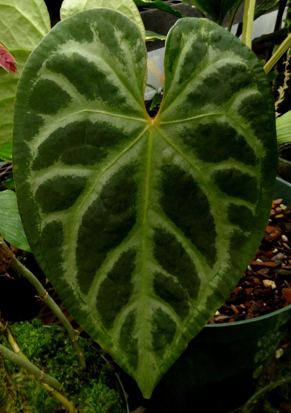 Anthurium magnificum Norte juvenile.JPG