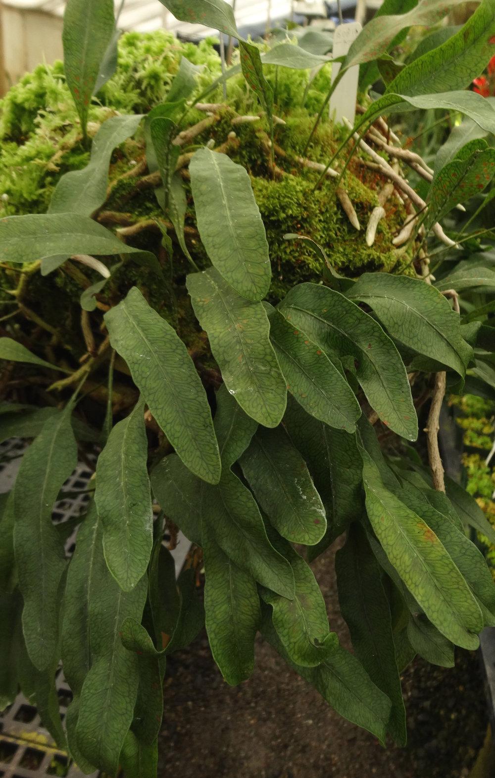 Microgramma squamulosa leaves.JPG