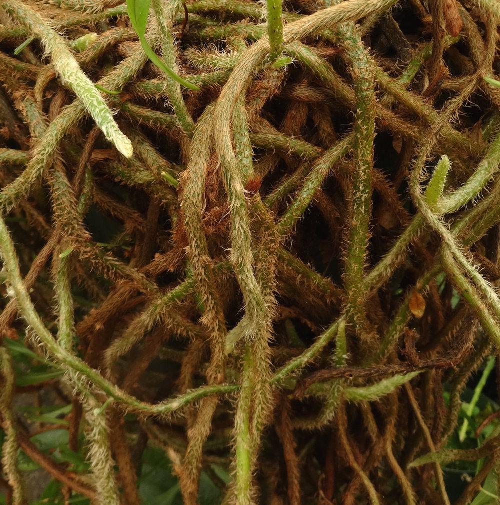 Microgramma nitida rhizomes.JPG