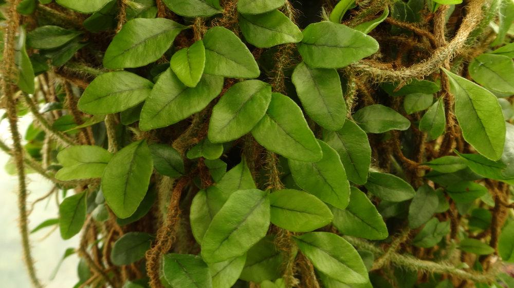 Microgramma vaccinifolia leaf detail.JPG